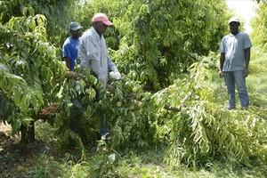 Unos recolectores en un campo de frutales en Torres de Segre.