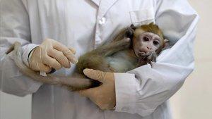 Un experiment en macacos explora l'epicentre de la consciència