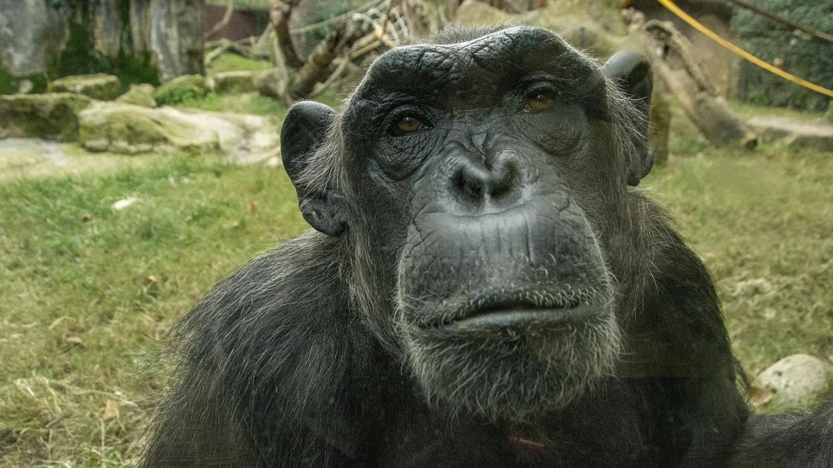 Negrita, uno de los pilares de la familia de chimpancés del Zoo de Barcelona.