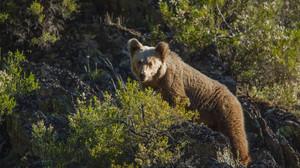 Un oso pardo, en una de las imágenes del documental Cantábrico.