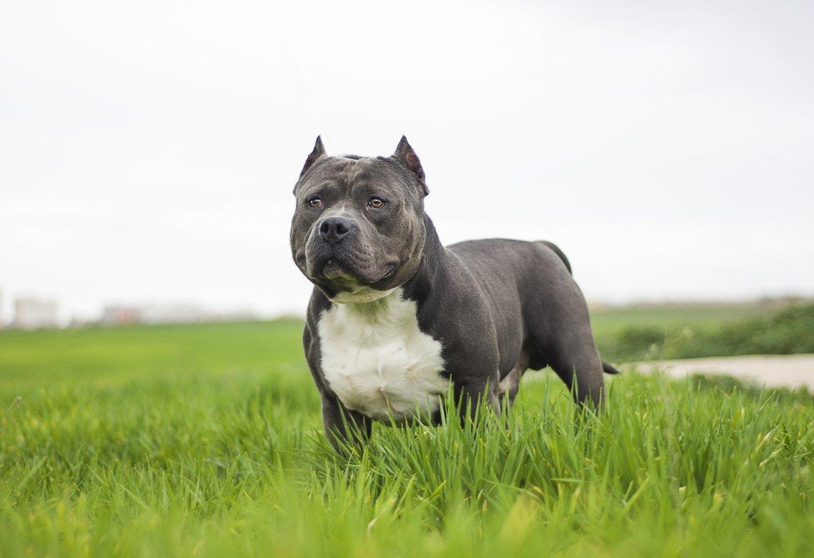 Un perro Bully Americano.