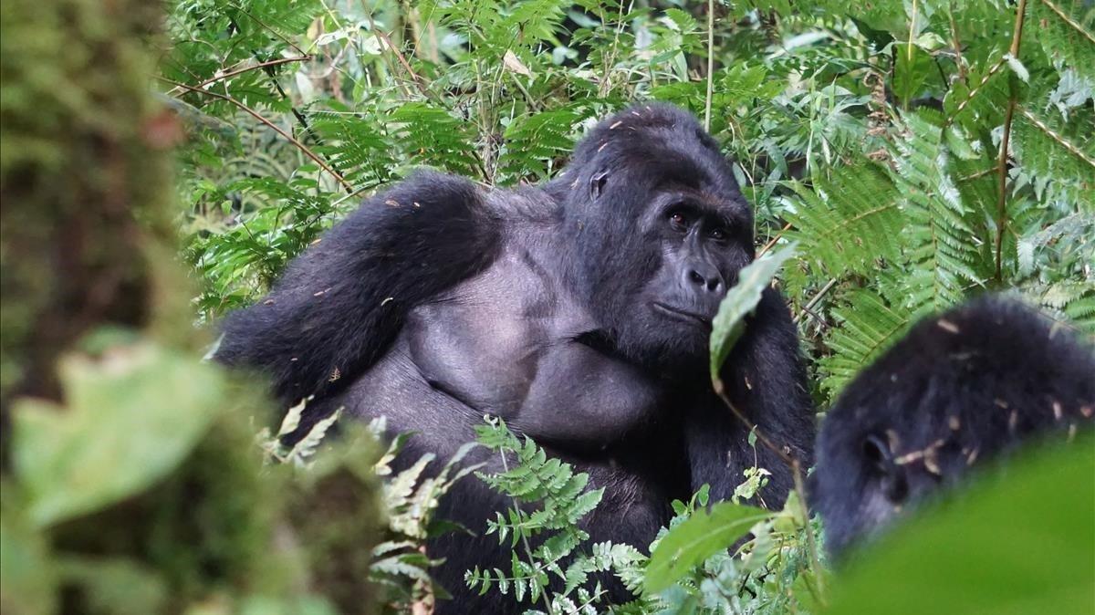 Rafiki, uno de los últimos gorilas de montaña más famosos de Uganda, en el Parque Nacional del Impenetrable Bosque de Bwindi.