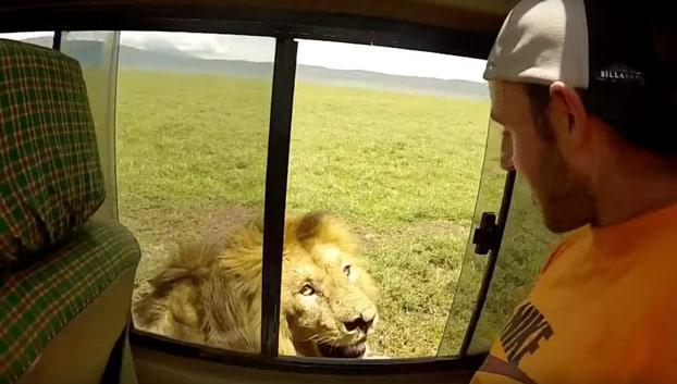 Momento en que el turista acaricia el lomo de un león en el Serengueti.