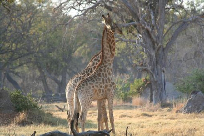 Una pareja de jirafas.