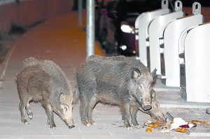 Unos jabalís se alimentan a medianoche de basura en una calle de Sant Cugat.