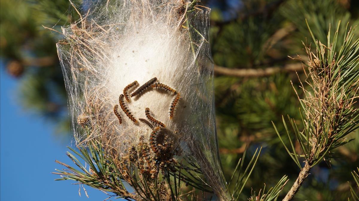 Una bolsa de orugas de la procesionaria del pino.
