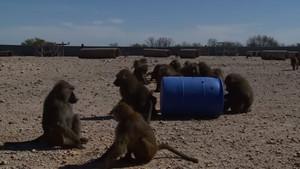 Un grupo de primatesjuega con un barril en el Texas Biomedical Research Institute
