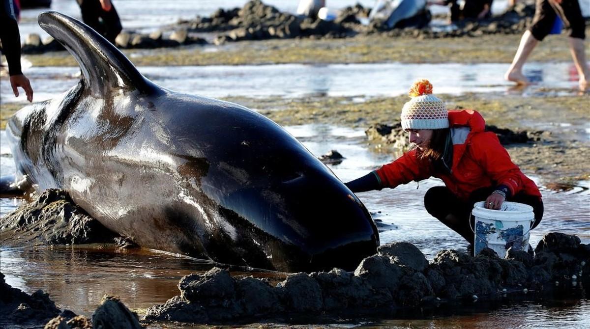 Ballenas varadas en Nueva Zelanda.