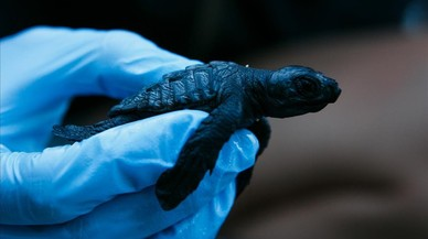 Un piscolabis de 58 tortugues babaues