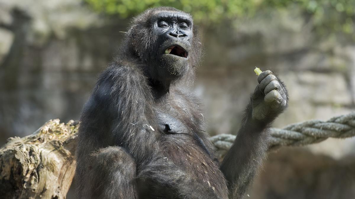 Un gorila del Zoo de Barcelona, el pasado febrero.
