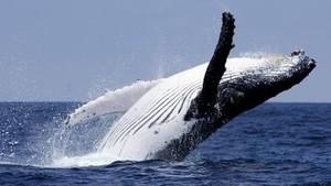 El espectacular salto de tres ballenas jorobadas de forma simultánea
