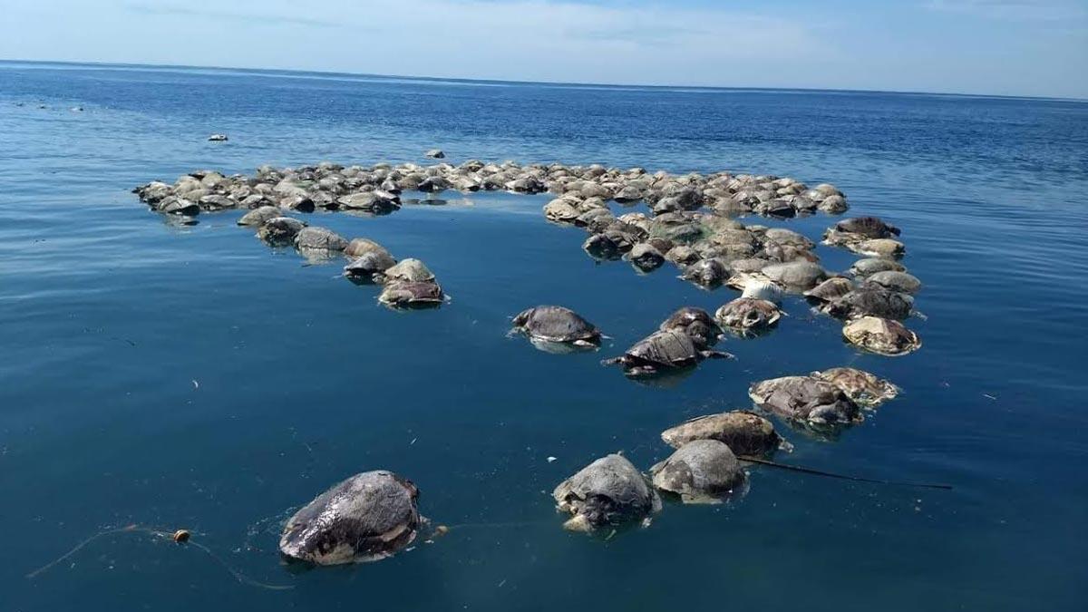 Cerca de 300 tortugas mueren en redes de atún en México.