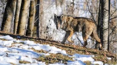 Francia espera aumentar la población de lobos de 360 a 500 ejemplares en cinco años