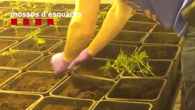 Los Mossos desmantelan una organización criminal que traficaba y cultivaba hachís y marihuana.