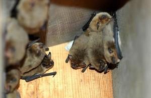 Imagen de un nido de murciélagos.