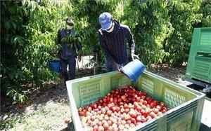 Temporeros en la recogida de la fruta de hueso en la comarca del Bajo Cinca, el pasado mes de junio.