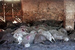 Ovejas muertas tras el primer ataque de perros salvajes en Seròs.