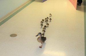 El desfile de una mamá pata y sus 13 crías por un hospital al que acude cada año para poner sus huevos