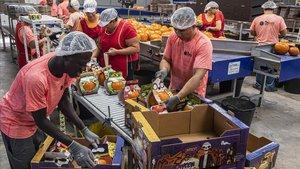 Operarios de la empresa valenciana Florfruits preparan las calabazas para Halloween