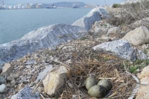 L'escassa gavina corsa torna a criar al port de Barcelona