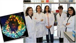 Mini riñón derivado a partir de células madre pluripotentes humanas y el equipo de investigadoras del IBEC responsable del proyecto