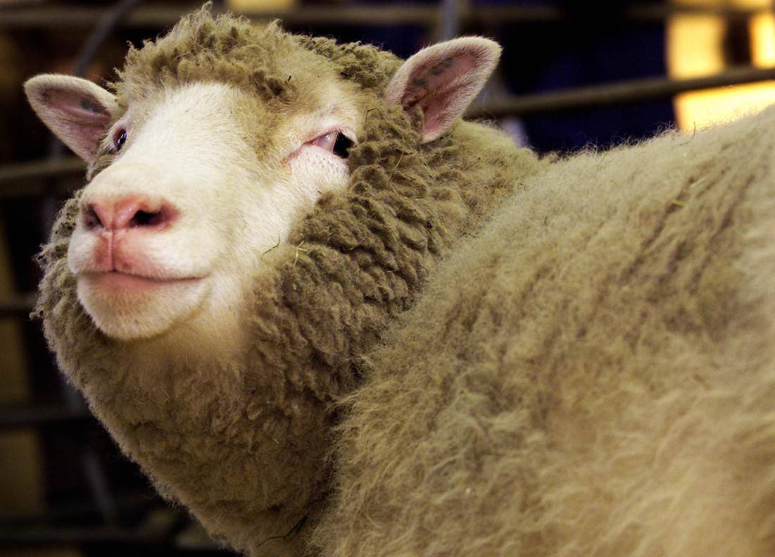 Dolly, quizá la oveja más famosa del mundo.