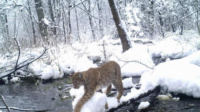 En la zona de exclusión de Chernobyl se ha encontrado que las poblaciones de animales están prosperando, en parte debido a la ausencia de amenazas humanas.