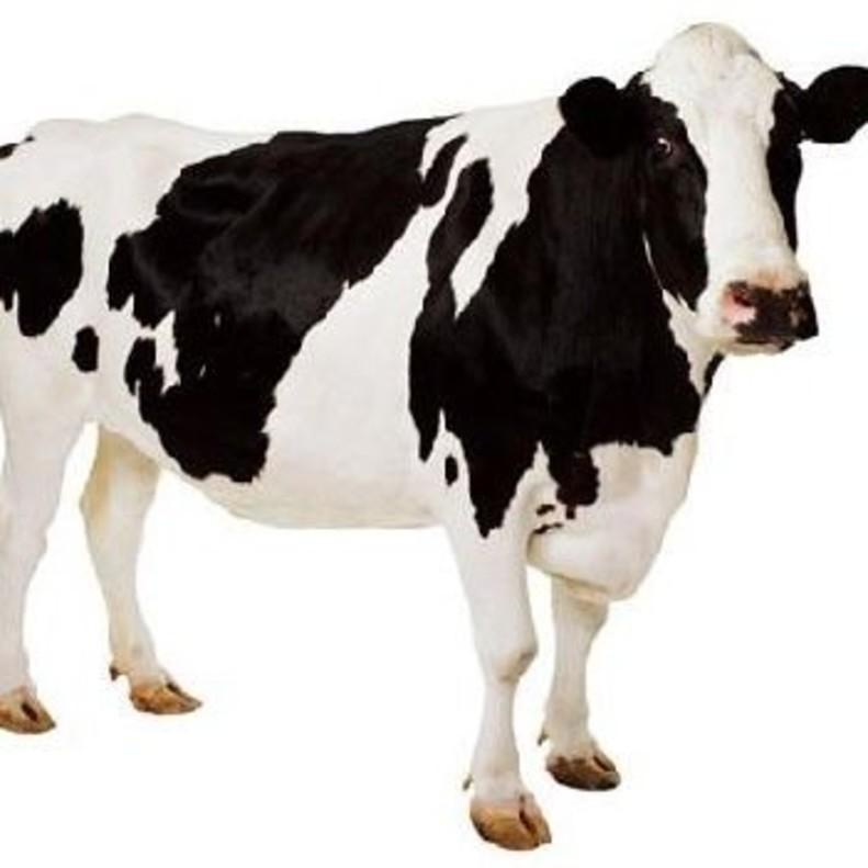 Despliegue para buscar a la vaca Rebeca, que huyó de unas fiestas de Burriana