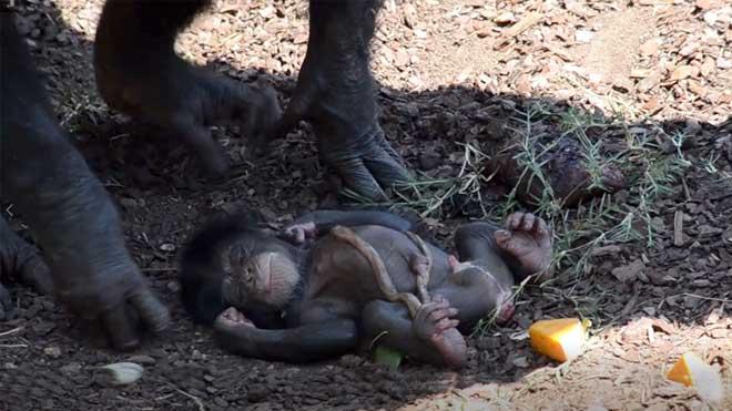 Nace en el BIOPARC de Valencia una cría de chimpancé ante el público
