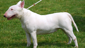 Un perro de raza bull terrier.