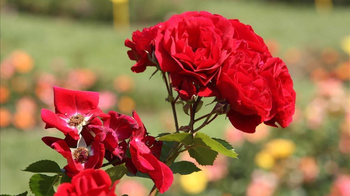 Un rosal en el parque de Cervantes de Barcelona.