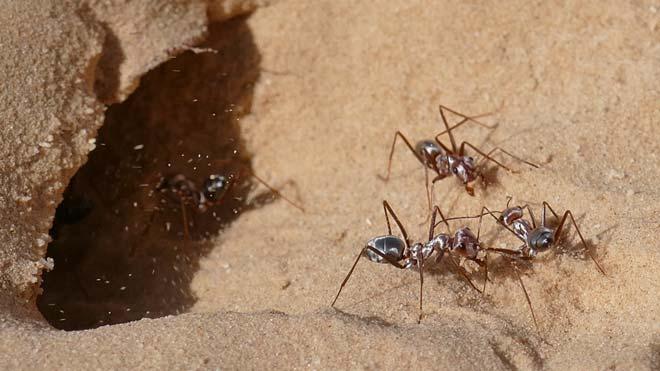 Les formigues són el tercer animal més veloç del planeta