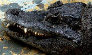 Un gegantí caiman de 3,6 metres xoca amb un camió a una autopista de Florida