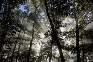 La sustitución de pinos por encinas en los bosques se acelera por la falta de gestión forestal.