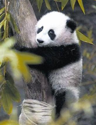 PANDA Es una de las 420 especies que China considera en peligro.