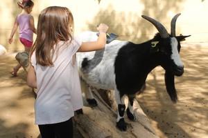 Una niña cepillando el pelo de una de las cabras enanas de África occidental en el Zoo de Barcelona.