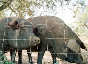 Un focus de pesta porcina a Bèlgica alerta els veterinaris de Girona
