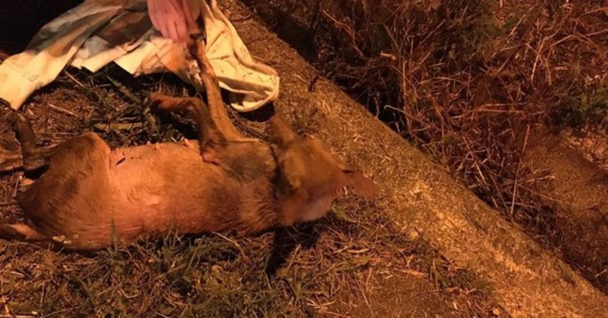 Imagen de la perra herida en Pontevedra.