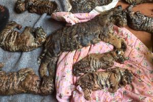 Algunos de los 40 cadáveres de crías de tigre encontradas por la policía tailandesa en un templo budista.