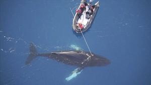 Unos científicos colocan un dispositivo no invasor en una ballena en la Antártida para investigar sobre sus comportamientos, el pasado mes de abril.