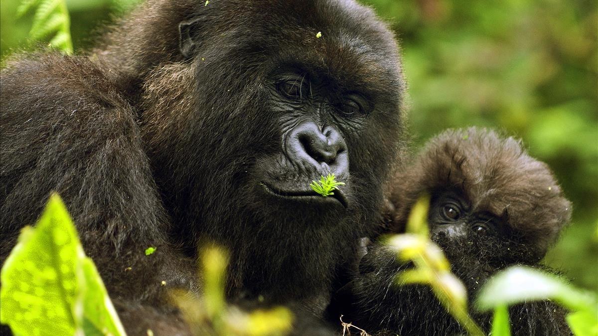 Un hembra de gorila con su cría, en Ruanda.