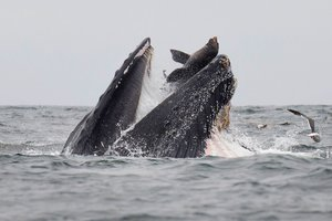 El impactante momento captado por el biólogo Chase Dekker en que un león marino cae en la boca de una ballena jorobada.