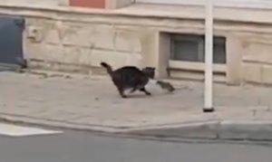 Una rata atacando al gato.