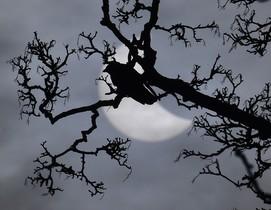 Un pajaro en una rama, ante el eclipse parcial de sol.