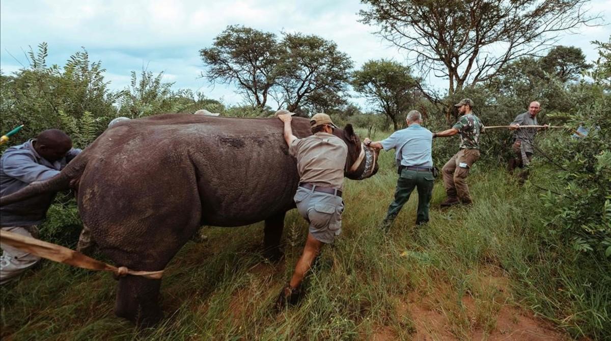 Llegada de los rinocerontes negros a Ruanda procedentes de Sudáfrica.