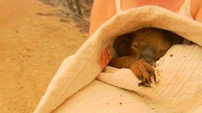 Muere el koala rescatado por una mujer durante los feroces incendios de Australia.