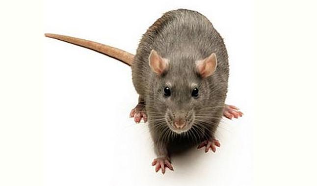 Alerta En Londres Por La Aparición De Ratas Gigantes