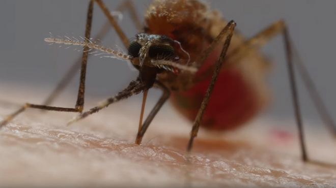 La trompa del mosquit es compon de sis estilets especialitzats en diferents funcions per xuclar-nos la sang.
