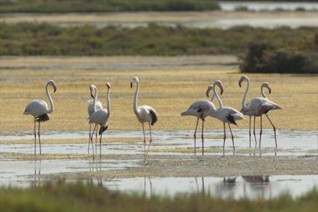 Un grupo de flamencos en la laguna de la Tancada, cerca del Trabucador, en el delta del Ebro.