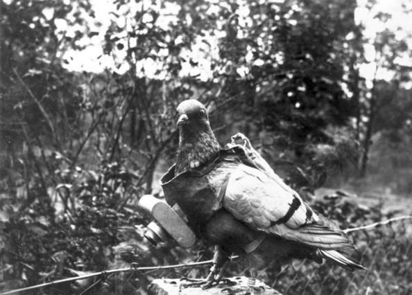Imagen de una paloma utilizada para espiar.